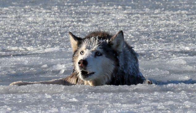 狗狗掉入冰窟中,危急时刻,男子不畏寒冷砸冰营救!